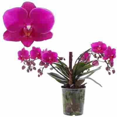 Schmetterlingsorchidee 'Artisto Deco' pink, 9 cm Topf