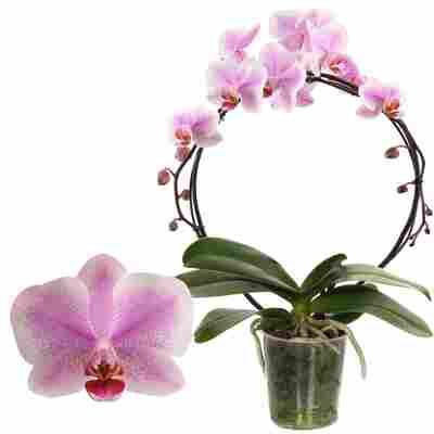 Schmetterlingsorchidee 'Amsterdam' 1 Rispe am Bogen, rosa, 12 cm Topf
