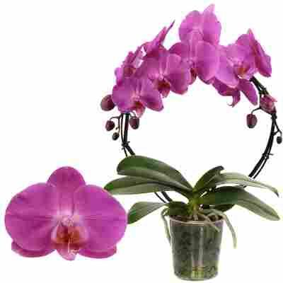 Schmetterlingsorchidee 'Las Palmas ' 1 Rispe am Bogen, pink, 12 cm Topf