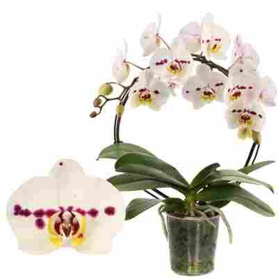 Schmetterlingsorchidee 'Boog Spottion' 1 Rispe am Bogen, weiß, 12 cm Topf