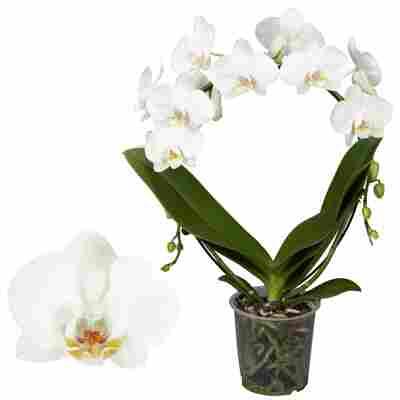 Schmetterlingsorchidee 2 Rispen am Bogen, weiß, 17 cm Topf