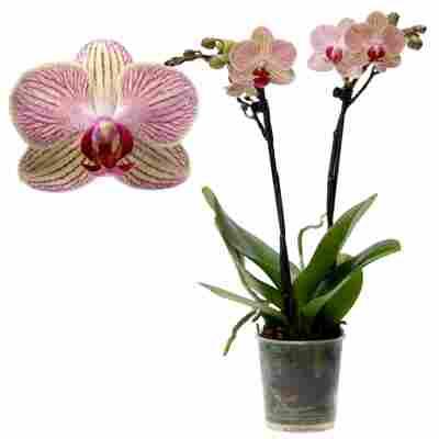 Schmetterlingsorchidee 'Nepal' 1 Rispe weiß, 9 cm Topf