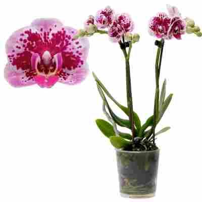 Schmetterlingsorchidee 'El Salvador' 2 Rispen rosa, 9 cm Topf