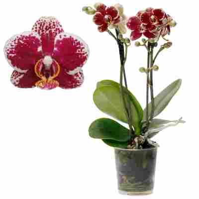 Schmetterlingsorchidee 'Spain' 1 Rispe rosa, 9 cm Topf