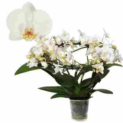 Schmetterlingsorchidee 'Halo' 3 Rispen am Bogen, weiß, 9 cm Topf