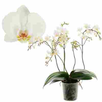 Schmetterlingsorchidee 'Wild White' 4 Rispen weiß, 12 cm Topf