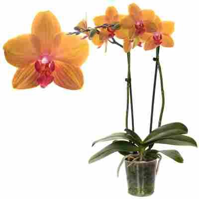 Schmetterlingsorchidee 2 Rispen orange, 12 cm Topf