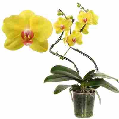 Schmetterlingsorchidee 'Fuller Sunset' 2 Rispen gelb, 12 cm Topf