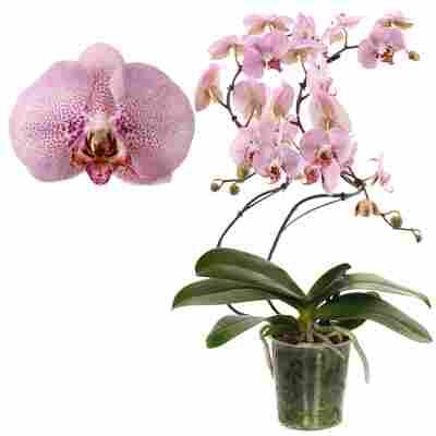 Schmetterlingsorchidee 'Diamond' 2 Rispen rosa, 12 cm Topf