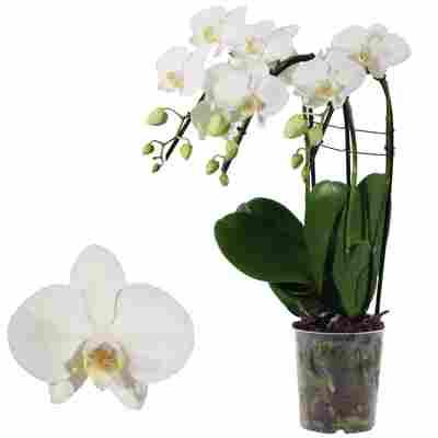 Schmetterlingsorchidee 'Tropic Snowball ' 3 Rispen weiß, 12 cm Topf