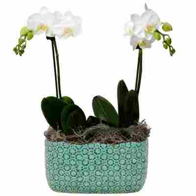 Schmetterlingsorchidee 2 Rispen weiß, 9 cm Keramikschale