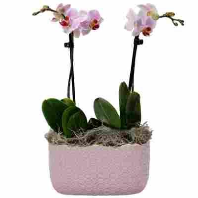 Schmetterlingsorchidee 2 Rispen rosa, 9 cm Keramikschale