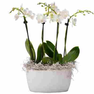 Schmetterlingsorchidee 4 Rispen weiß, 9 cm Keramikschale