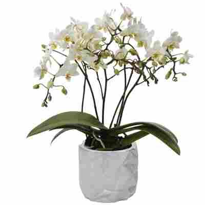 Schmetterlingsorchidee 4 Rispen weiß, 9 cm Dekotopf
