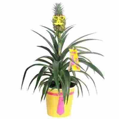Ananas 'Mr Pineapple' 12 cm Topf