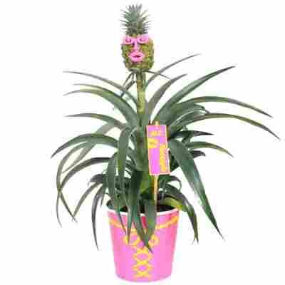 Ananas 'Mrs Pineapple' 12 cm Topf