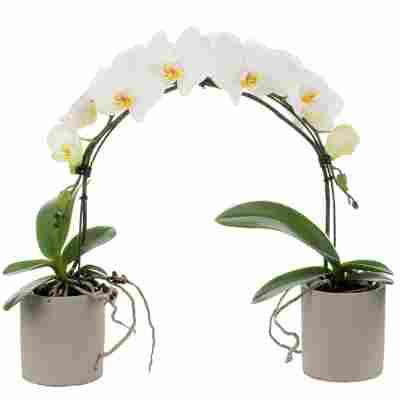 Schmetterlingsorchidee 2 Rispen am Bogen weiß, 9 cm Keramiktöpfe