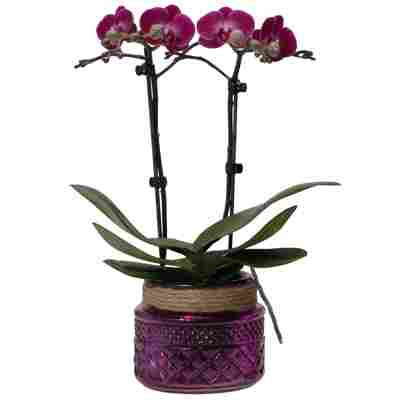 Schmetterlingsorchidee 2 Rispen violett, 9 cm Dekotopf