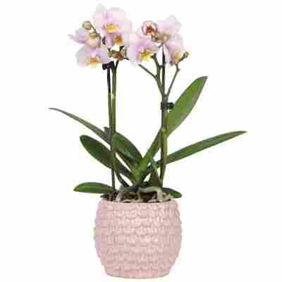 Schmetterlingsorchidee 2 Rispen rosa 9 cm Keramiktopf