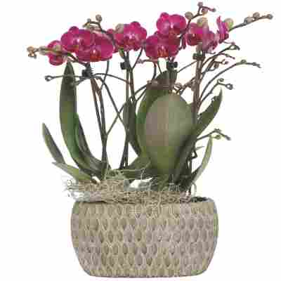 Schmetterlingsorchidee 4 Rispen violett, 18 cm Keramikschale