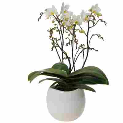 Schmetterlingsorchidee 4 Rispen weiß, 9 cm Keramiktopf