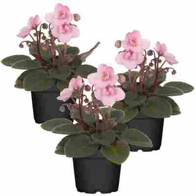 Usambaraveilchen rosa 7 cm Topf, 3er-Set