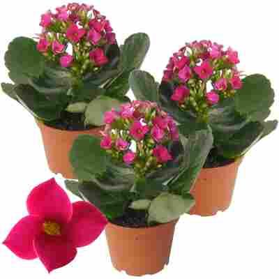 Kalanchoe ungefüllt rosa 7 cm Topf, 3er-Set