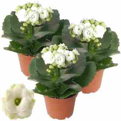 Kalanchoe gefüllt weiß 7 cm Topf, 3er-Set