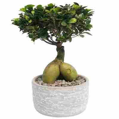 Zimmerbonsai Ficus 'Ginseng' in Keramiktopf Porto grau 20 cm