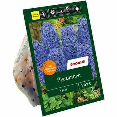 Hyazinthen blau 3 Zwiebeln