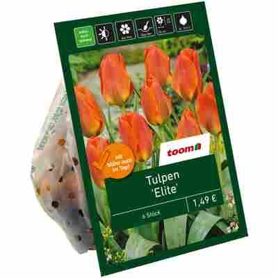 Tulpen 'Elite' orange 6 Zwiebeln