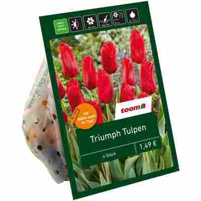 Triumph-Tulpen rot 6 Zwiebeln