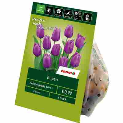 Tulpen violett 6 Zwiebeln