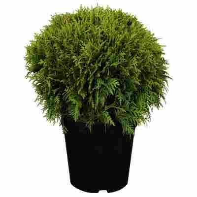 Kugel-Lebensbaum 'Danica', 21 cm Topf