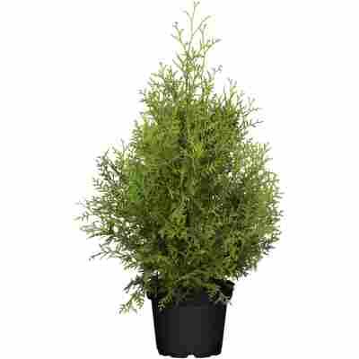 Lebensbaum 'Brabant', 26 cm Topf