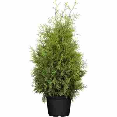 Lebensbaum 'Brabant', 33 cm Topf
