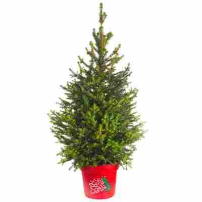 Zuckerhutfichte 'Little Santa®' 23 cm Topf
