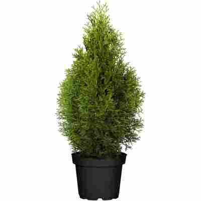 Lebensbaum 'Smaragd', 29 cm Topf
