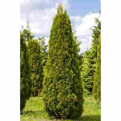 Lebensbaum , 31 cm Topf