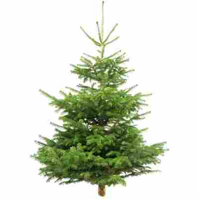 Fair Trees® Weihnachtsbaum Nordmanntanne gesägt 130-150 cm