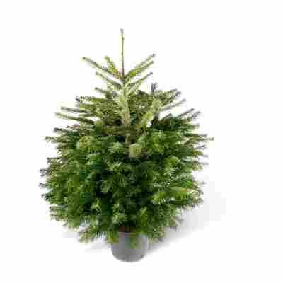 Fair Trees® Weihnachtsbaum Nordmanntanne topfgedrückt 100-125 cm