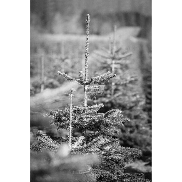 Nordmanntanne Weihnachtsbaum.Fairtrade Weihnachtsbaum Nordmanntanne Topfgewachsen 80 100 Cm ǀ