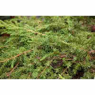 Grüner Kriech-Wacholder 'Green Carpet', 21 cm Topf