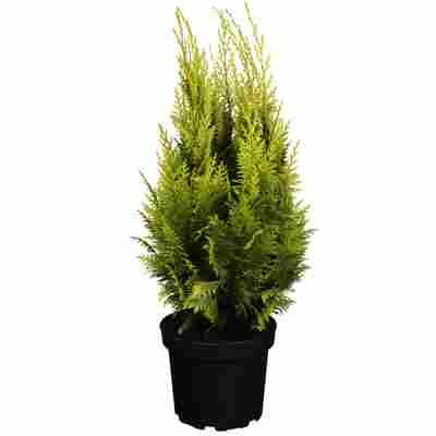 Lawsons Scheinzypresse 'Ivonne' 40-60 cm