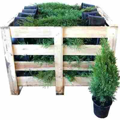 Lebensbaum 'Smaragd' 70 - 80 cm, 80 Stück