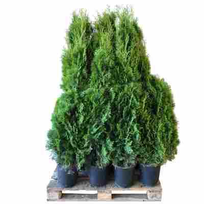 Lebensbaum 'Smaragd' 120-140 cm 25 Stück