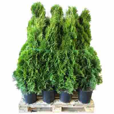 Lebensbaum 'Smaragd' 100-120 cm 15 Stück