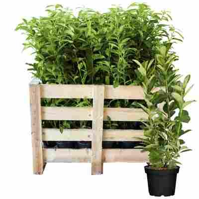 Kirschlorbeer 'Rotundifolia' 80-100 cm 25 Stück