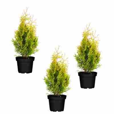 Lebensbaum 'Sunkist' 9 cm Topf, 3er-Set