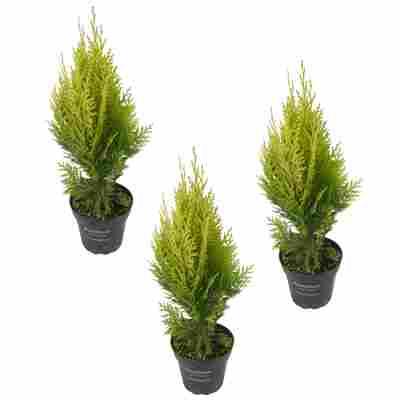 Garten-Zypresse 'Ivonne' 9 cm Topf, 3er-Set